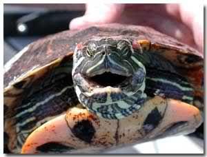 Tortoise Jokes Tortoise Forum Tortoise Jokes Tortoises