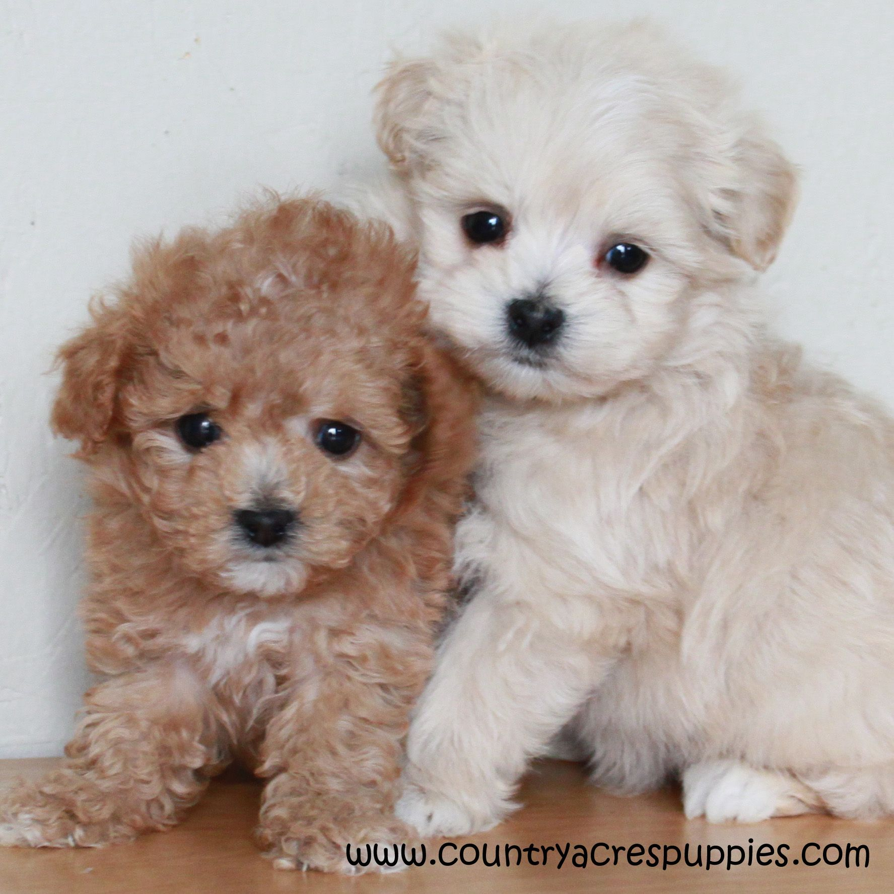 Maltipoo puppies!! Cute balls of fluff. Cute little