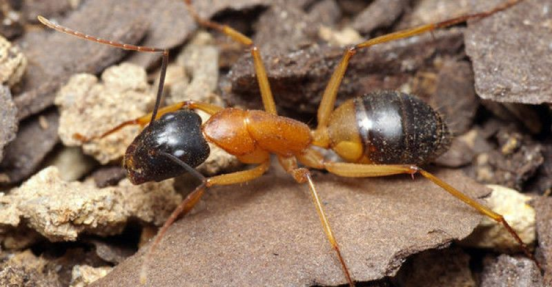 How To Get Rid Of Sugar Ants (In House And Kitchen) Ants