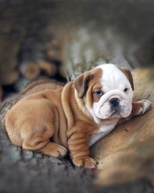 5 Interesting Fun Facts About English Bulldogs Fact 04 English