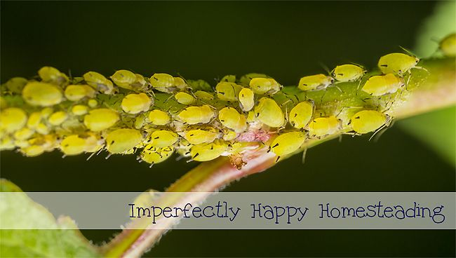Naturally Controlling Aphids -- Naturally Controlling Aphids in your organic garden. Naturally controlling aphids in your organic garden can be a challenge. I know I have lost more than a my fair share of garden harvests to these nasty beasts. But we wage the war! I have found a few options that have helped me in the garden...