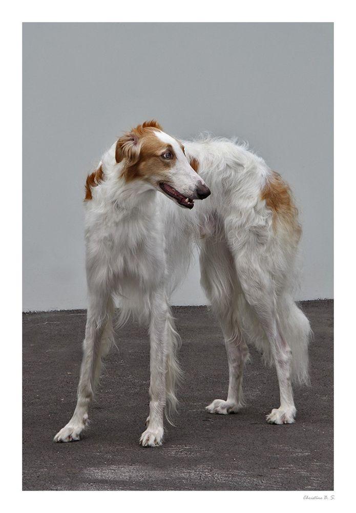 Barsoi Von Christine B S Barsoi Windhund Windhunde