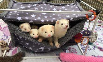 Best Bedding for Ferrets Ferret, Ferrets care, Ferret toys