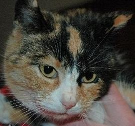 Greta C130003 Is An Adoptable Calico Cat In Edina Mn Our Contract States That You Are Not Allowed To Declaw Your Adop Cat Adoption Calico Cat Cute Animals