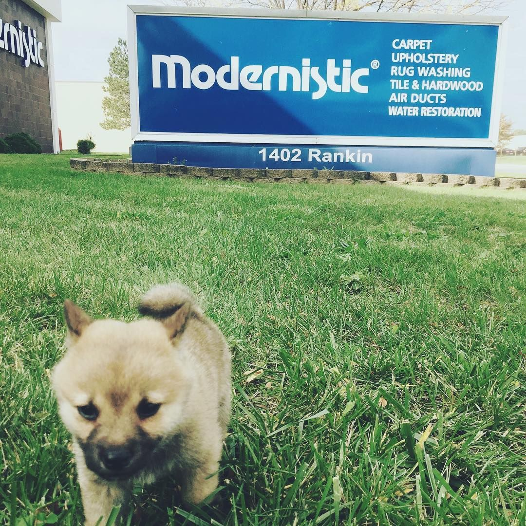Modernistic welcomes its newest team member, Kayla! #workingdog #shibainupuppy #modernistic 💙🐺 We love puppies and babies!
