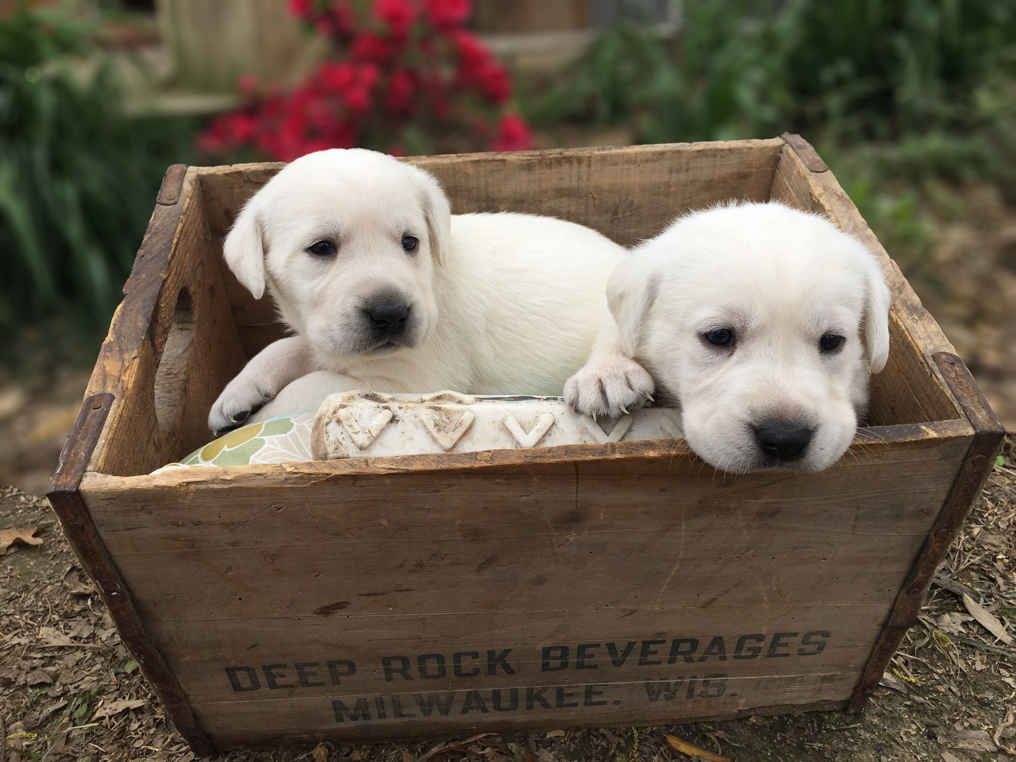 Silver lab puppies for sale texas