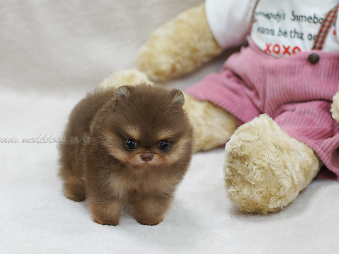 Pin By Allie Reina On Furbabies Pomeranian Puppy Teddy Bear Puppies Cute Puppies