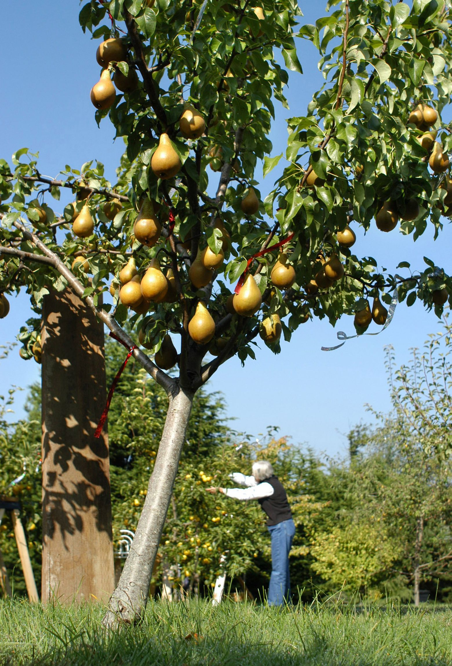 It S Time To Plant Fruit Trees Here S How To Best Establish Them The Seattle Times Dwarf Fruit Trees Fast Growing Fruit Trees Growing Fruit Trees