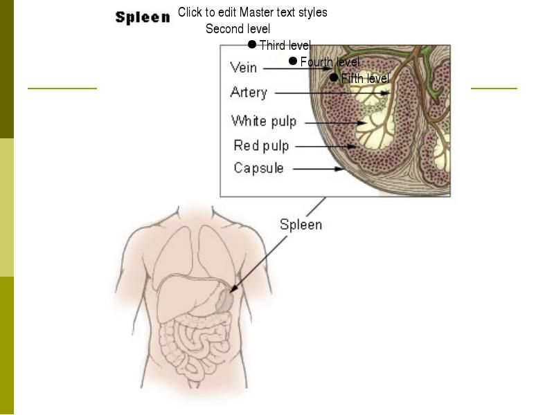 Lymphatic System - Spleen | Anatomy | Pinterest | Lymphatic system