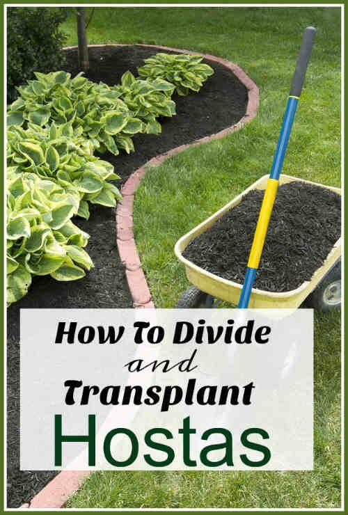 How to Divide & Transplant Hostas – DIYFix.org