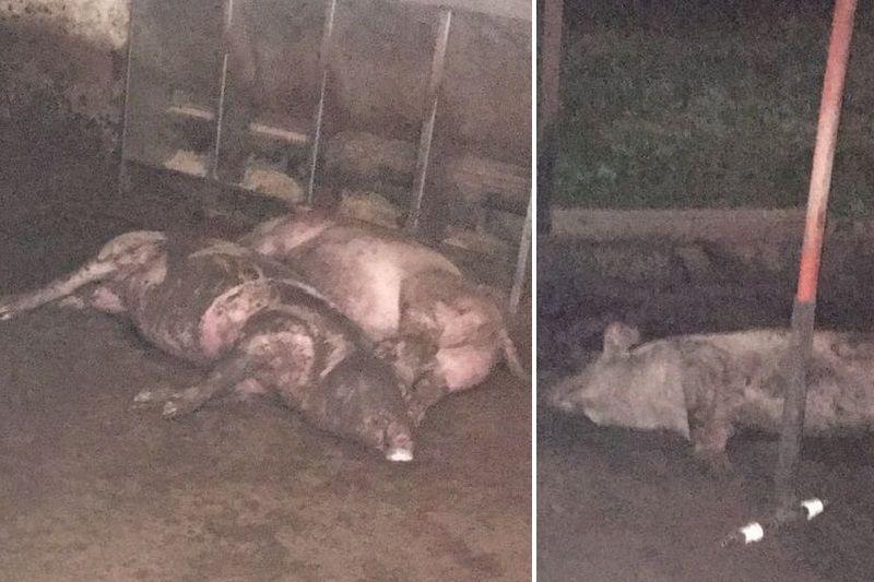 ¡NUEVOS DELITOS EN SOCIALISMO! Robaron 33 cerdos y sacrificaron a 15 más en el Zulia - http://bit.ly/2eBb9HG