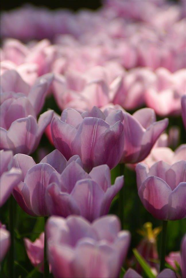 #昭和記念公園にて #春 #チューリップ