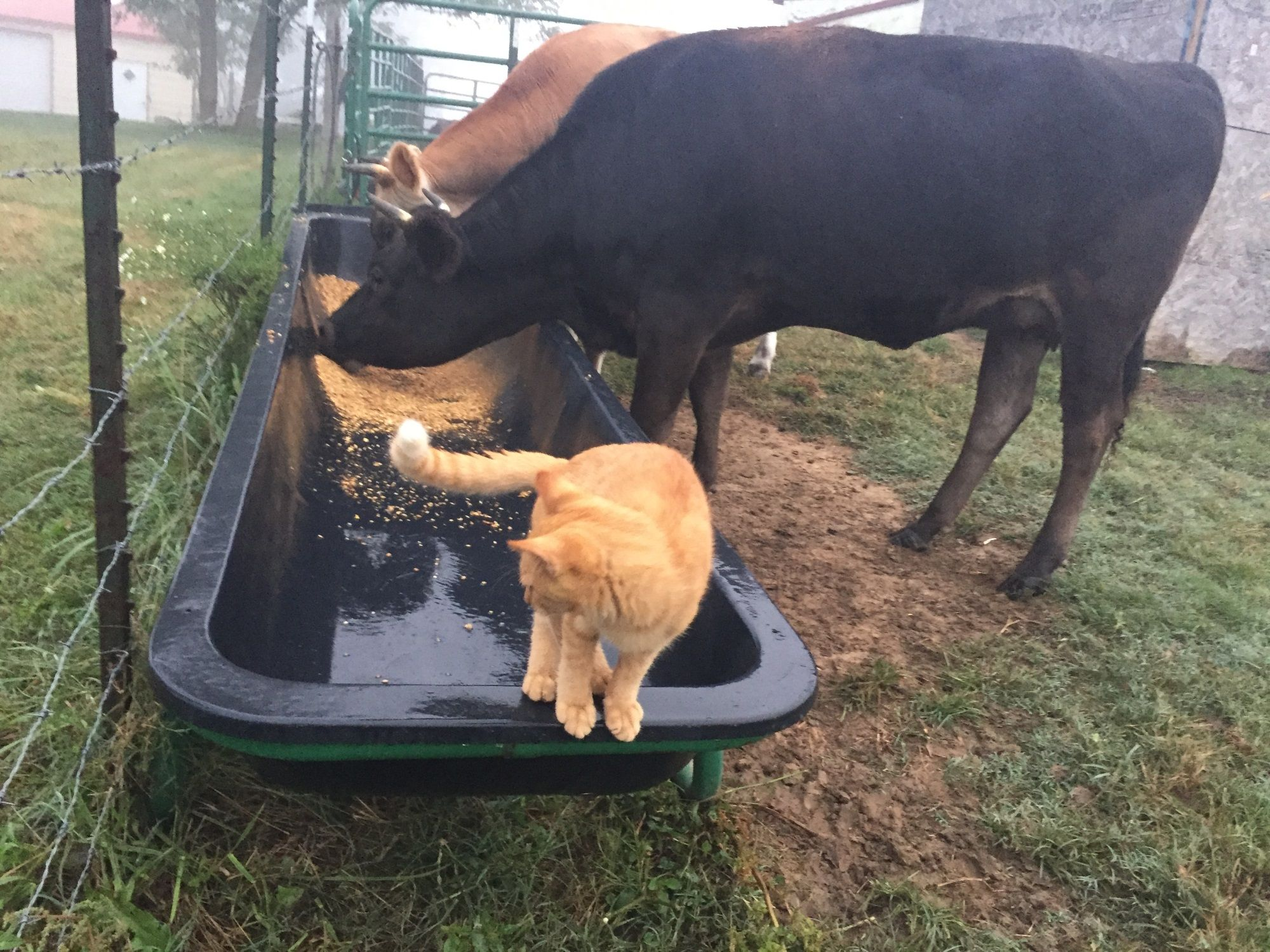 Tiny Making Sure The Cows Eat Their Feed This Morning Kitty Cows Morning Kitten Cats Cat Catsofinstag Goat Milk Soap Cat Day Homemade Goat Milk Soap