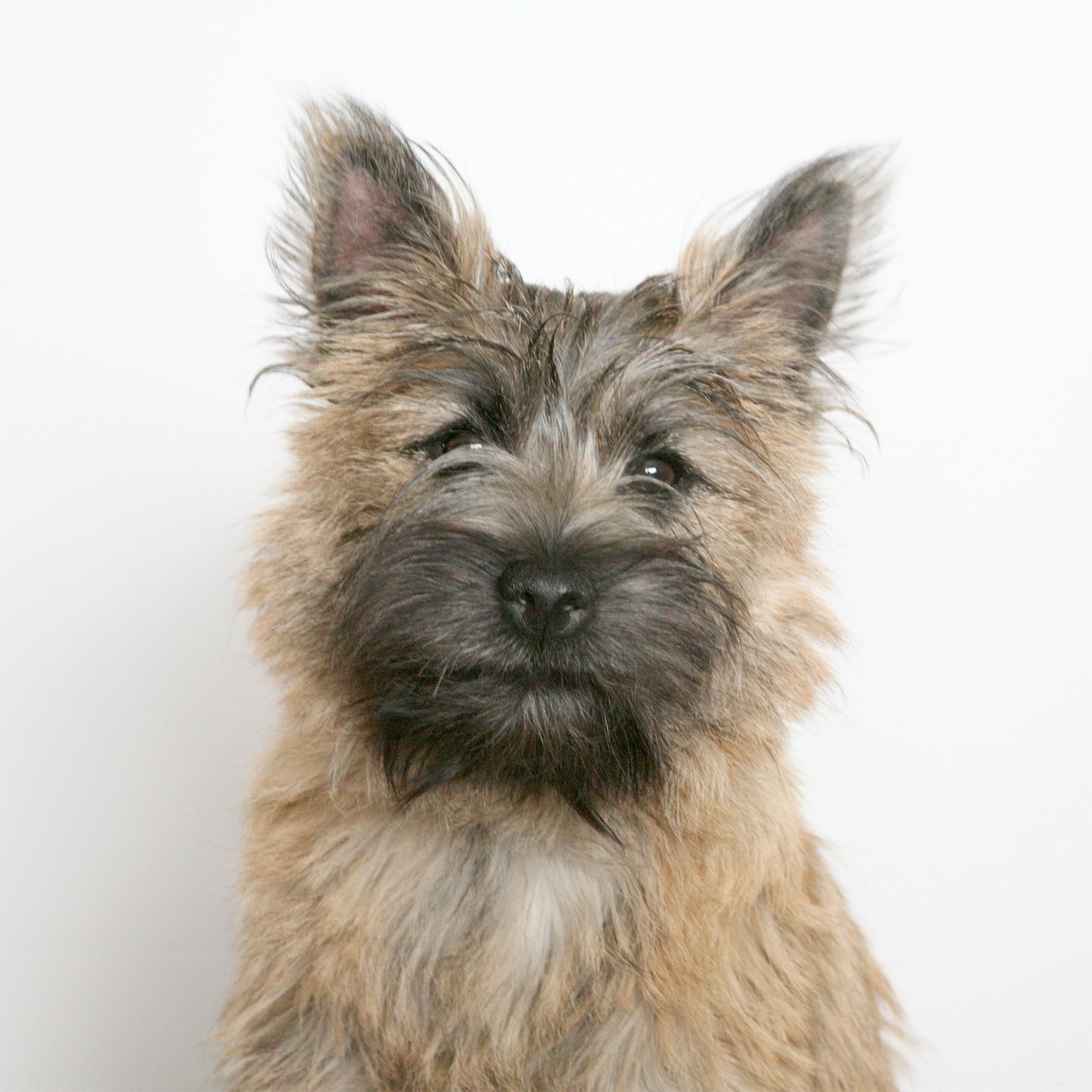 Cute Wheaten Cairn Terrier Dog Picture Photo Cairn Terrier Puppies Cairn Terrier Terrier Dogs