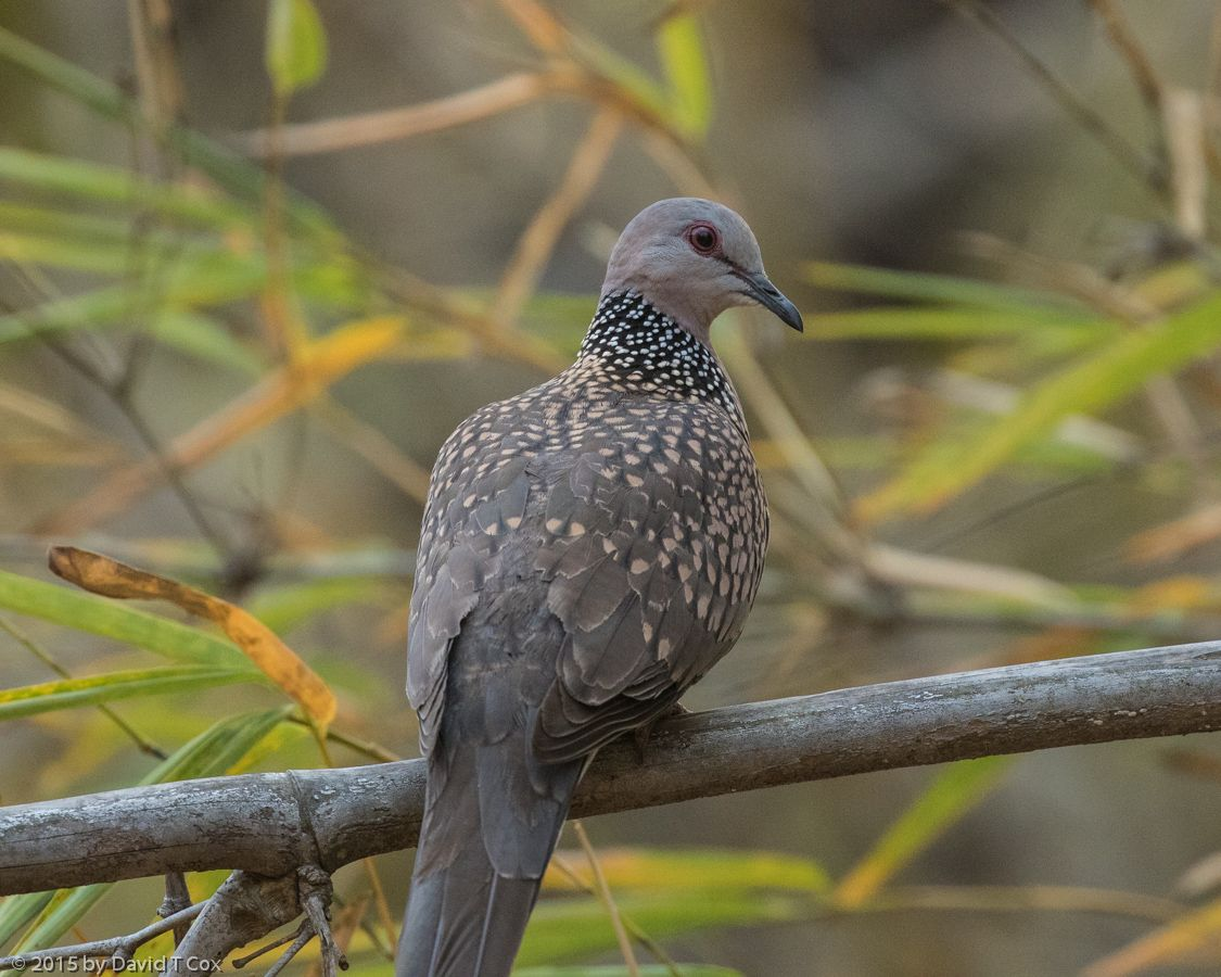 A dove (Spilopelia chinensis) at Bandhavgarh National Park in India. ©David T Cox