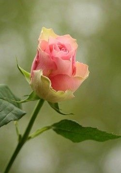 This is another beautiful bud on the new rose waiting to be planted. Tahitian Sunset. So beautiful.