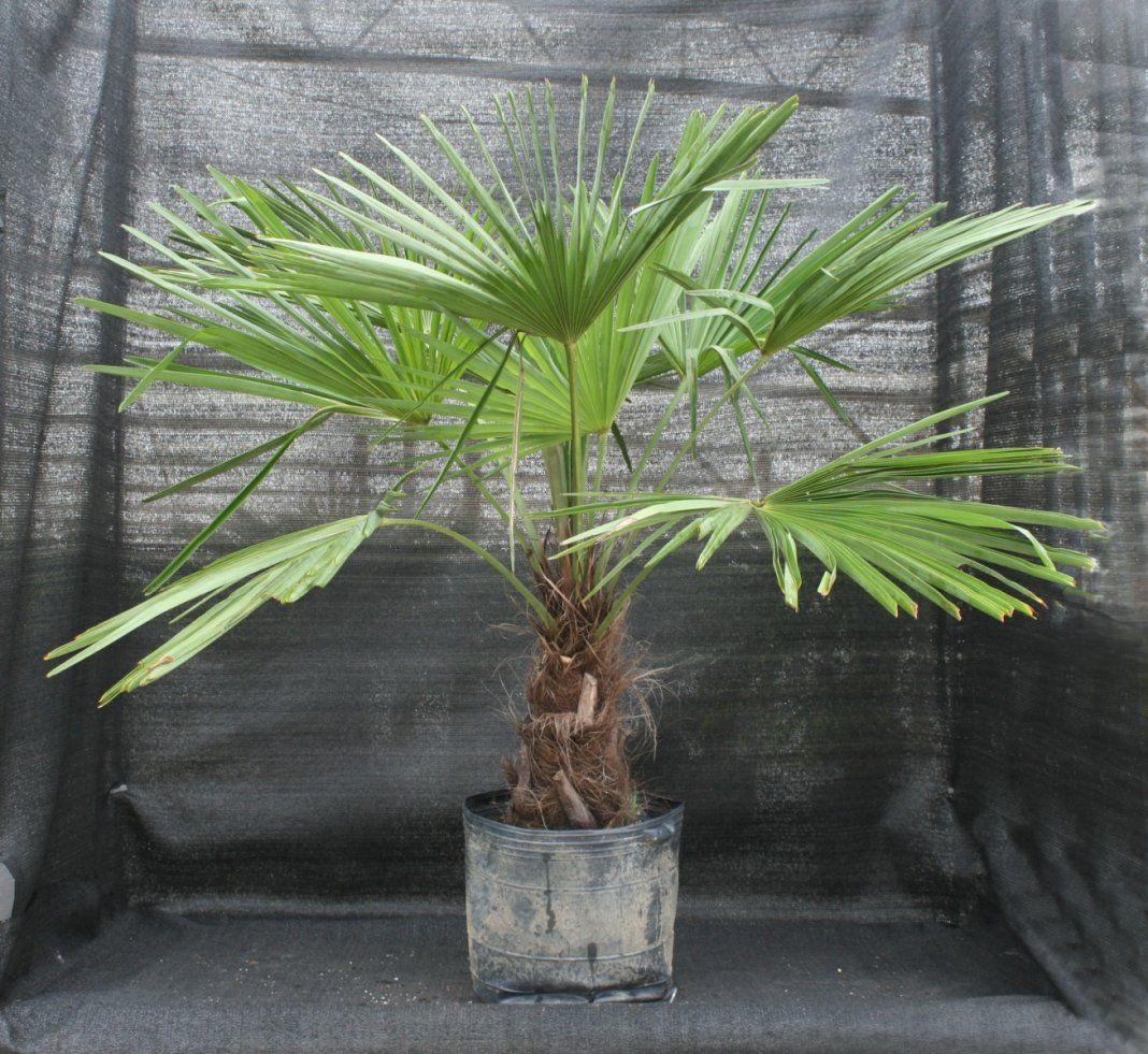 5 самых неприхотливых комнатных пальм   Пальмы, Растения и ...
