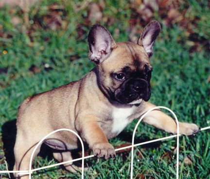 Breeds Of Small Dogs Best Small Dog Breeds French Bulldog Small Dog Breed Fawn French Bulldog Bulldog Bulldog Puppies