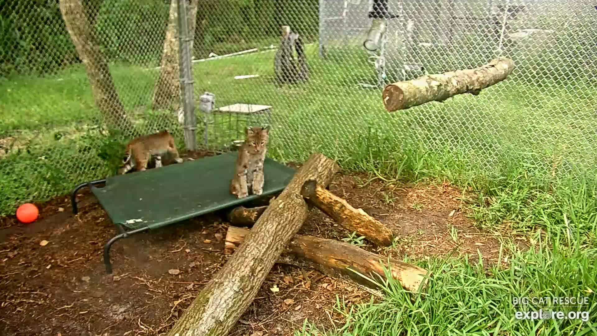 I M Watching The Big Cat Rescue Cam Streaming Live On Explore Org Big Cat Rescue Snapshots Namjoon