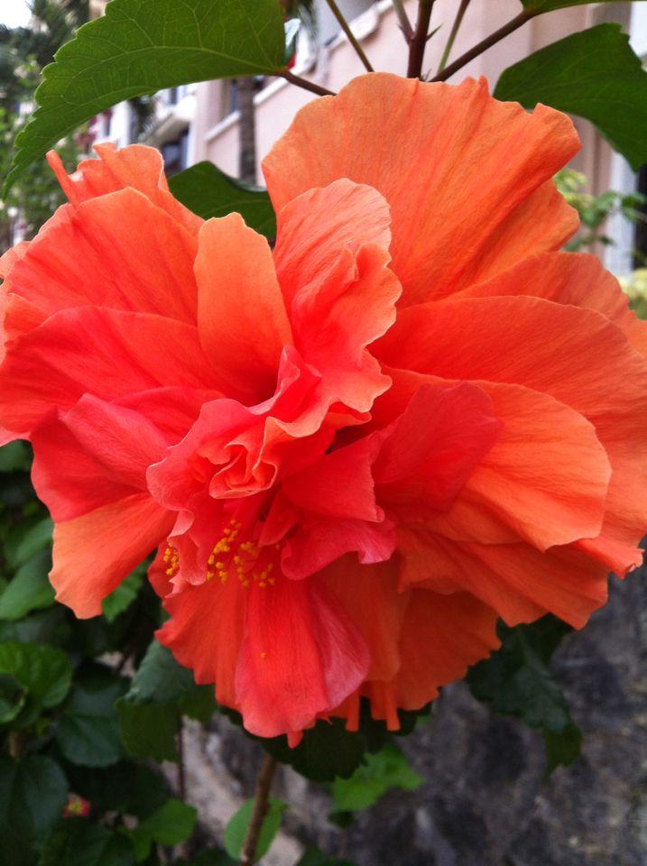 Orange Bunga Raya