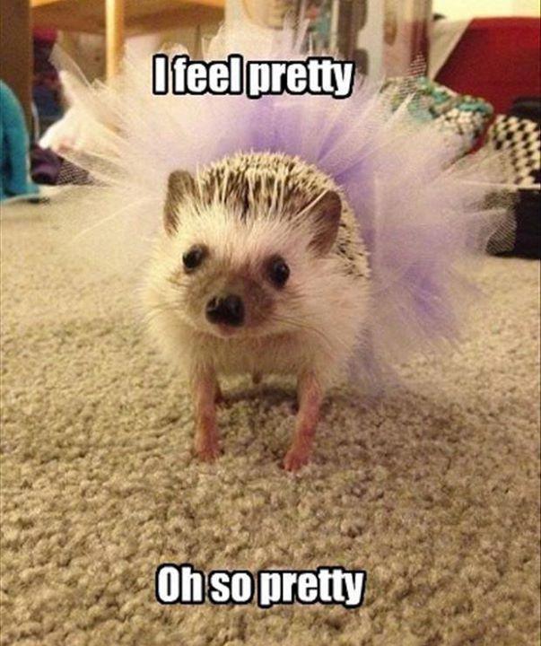 I Feel Pretty #animals #hedghehog #ballerina #tutu #aww #adorabo #pets http://buff.ly/1WnWmgA