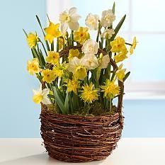 Delightful Daffodils for Mom