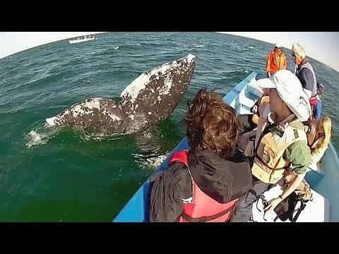 Catch a glimpse of the magnificent Gray Whales of San Ignacio in our newest video with our friends at NRDC (Natural Resources Defense Council)