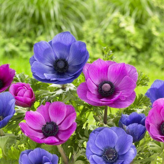 Anemone Mr Fokker Sylphide Longfield Gardens Longfield Gardens Anemone Flower Mister