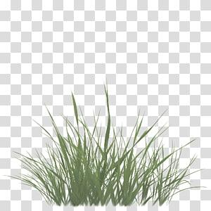Sweet Grass Vetiver Commodity Wheatgrass Chrysopogon Grass Texture Alpha Transparent Background Png Clipart Grass Textures Grass Background Plant Texture