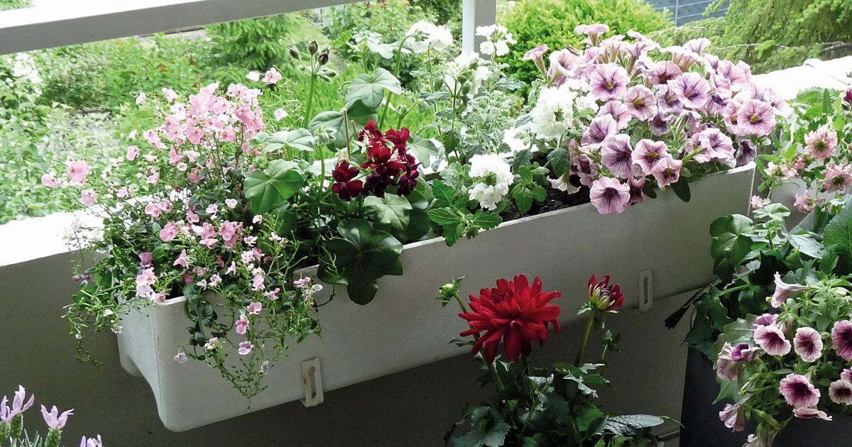 Ein schöner Balkonkasten erfreut uns die ganze Saison hindurch. MEIN SCHÖNER GARTEN-Redakteurin Susann Hayn zeigt Schritt für Schritt, wie man einen Blumenkasten richtig bepflanzt.