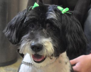 Adopt Pepsi On With Images Poodle Mix Dogs Lhasa Apso Poodle Mix
