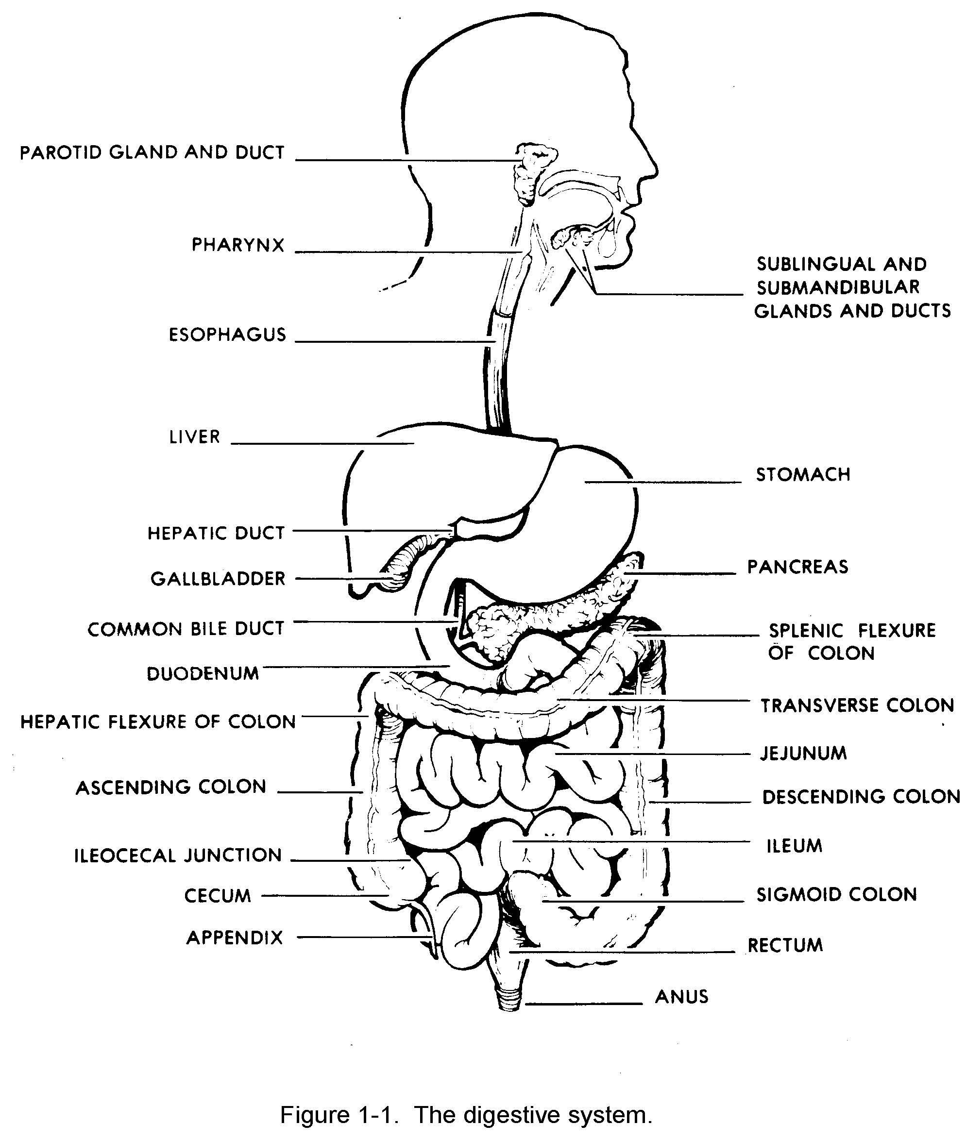 Digestive System Diagram To Label Digestive System