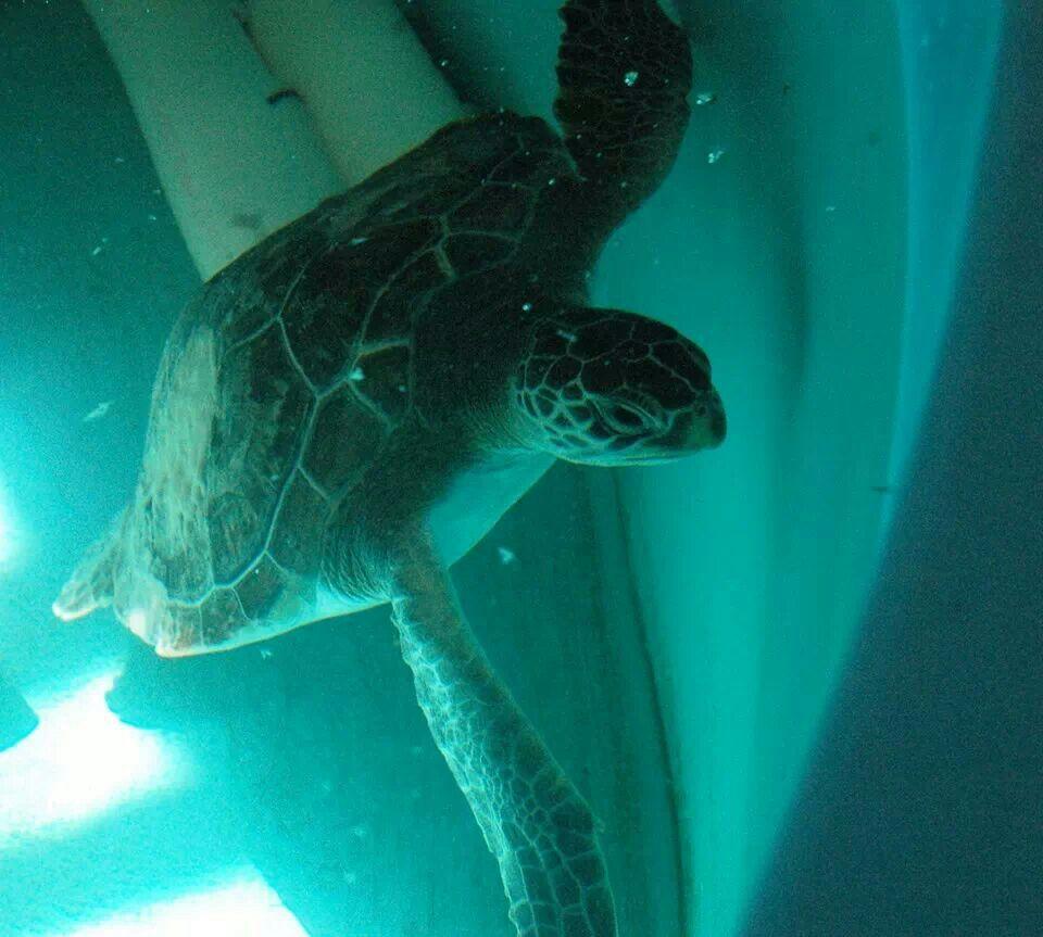 Georgia sea turtle