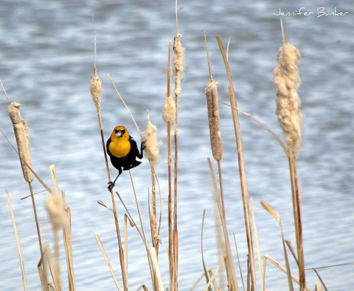 Make up your mind!   Yellow-headed Blackbird, USFWS Bear River Migratory Bird Refuge, Utah. Photo: Jennifer Bunker