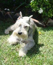Miniature Schnauzer Dog Breed Facts And Information Wag Dog Walking Dog Breeds Miniature Schnauzer Schnauzer Dogs