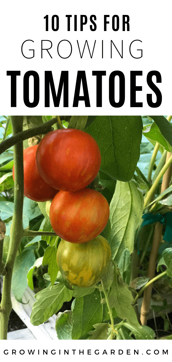How To Grow Tomatoes In Arizona 10 Tips For Growing Tomatoes Tips For Growing Tomatoes Growing Tomato Plants Growing Tomatoes