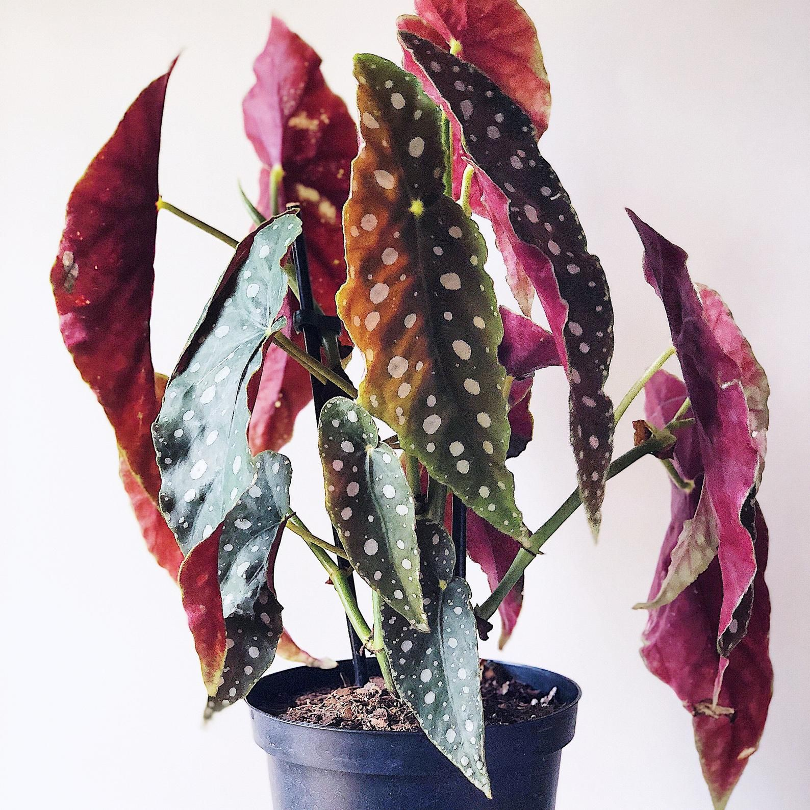 Angel wing begonia live house plants tropical plants