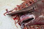 Encuentran una rara especie de tiburón de seis metros de largo en las costa de Florida