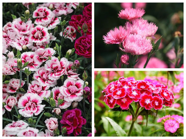 Dianthus varieties- clockwise from top right - dianthus caryophyllus (carnation); dianthus barbatus (Sweet William); dianthus plumarius (pinks)