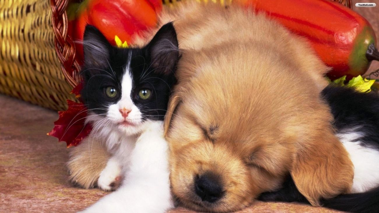 Download Cat And Dog Wallpaper For Xiaomi High Quality Hd Wallpaper In 2k 4k 5k 8k 10k Resoluti Cute Cats And Dogs Cute Puppies And Kittens Kittens And Puppies