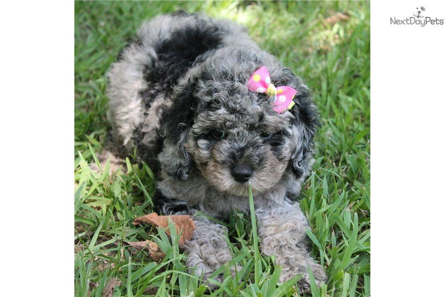 Sparkle Cavapoo Puppy For Sale Near Little Rock Arkansas 3318c974 2051 Cavapoo Puppies For Sale Cavapoo Puppies Cavapoo