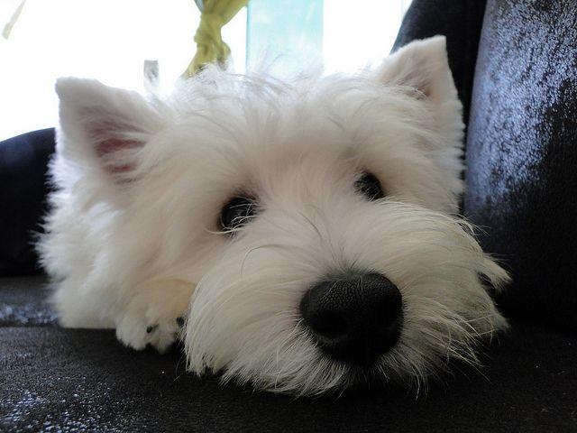 West Highland White Terrier Westie Puppies Cute Dogs Cute Animals