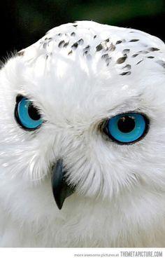Snow owl has mesmerizing blue eyes… Búho nival de ojos azules hipnotizantes.                                                                                                                                                                                 Más
