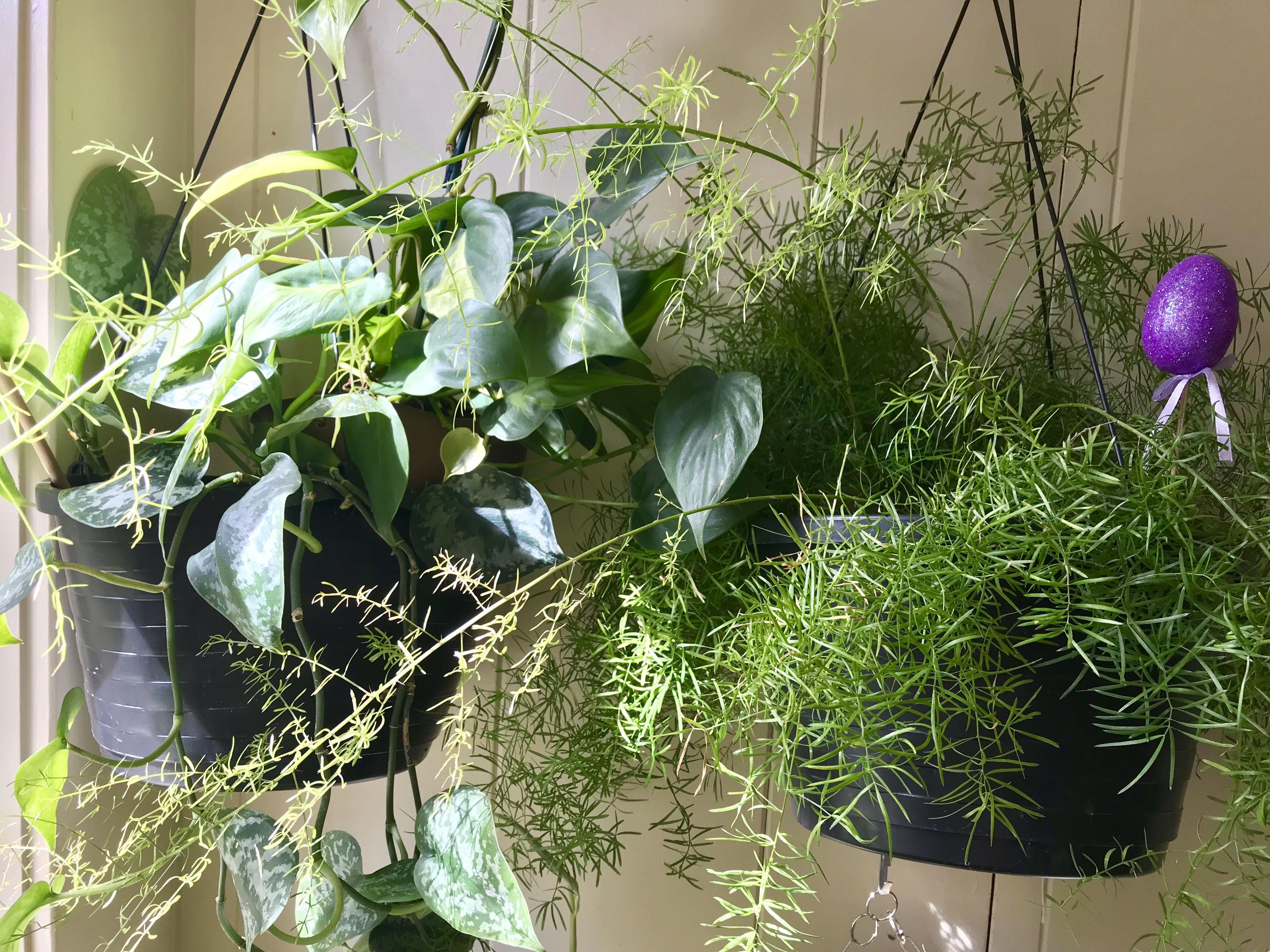 Asparagus fern pothos asparagus fern plants indoor