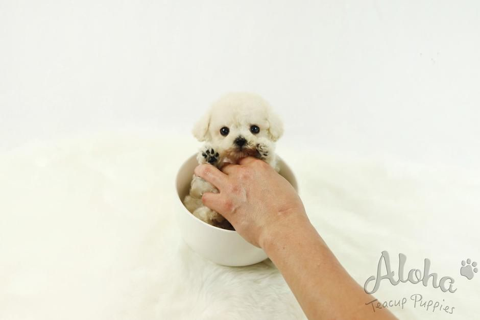 Healthy Teacup Puppies For Sale ㅣ AlohaTeaCupPuppies – Aloha Teacup Puppies #cuteteacuppuppies