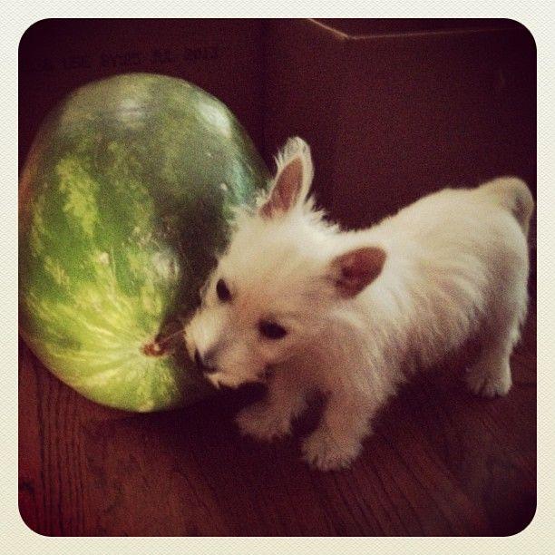 #westie #puppy  chewing on the watermelon stem