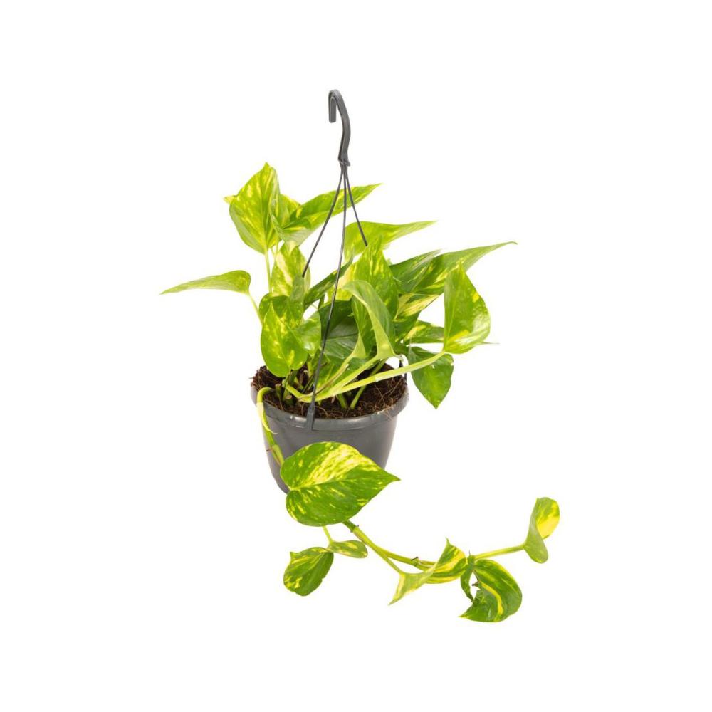 Epipremnum Scindapsus Aureum 30 Cm Kwiaty Doniczkowe W Atrakcyjnej Cenie W Sklepach Leroy Merlin Plants 30th
