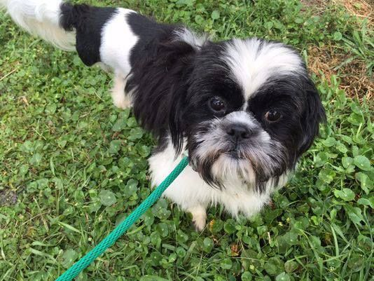 A Shih Tzu Found By Titusville Police In April Chained To A Stop Sign Is Recovering And Getting A Brand New Sta Brevard County Sheriff Sheriff Office Brevard