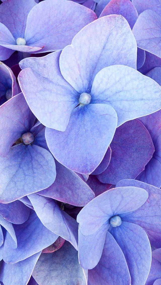 Iphone 5 Wallpaper Flowers Photography Trendy Flowers Hydrangeas Art