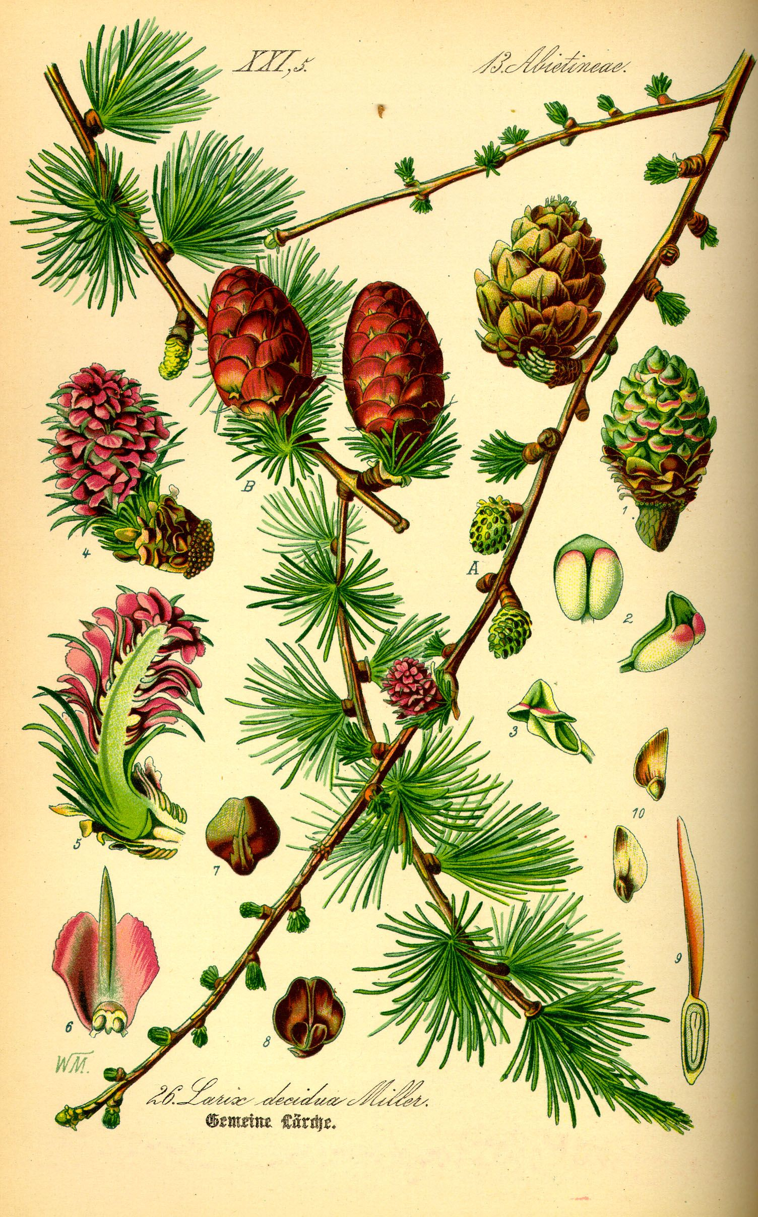 larch tree in spring - Google Search